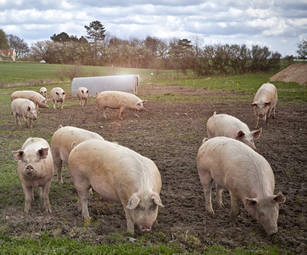 Pig farmers halve the use of antibiotics in 2 years